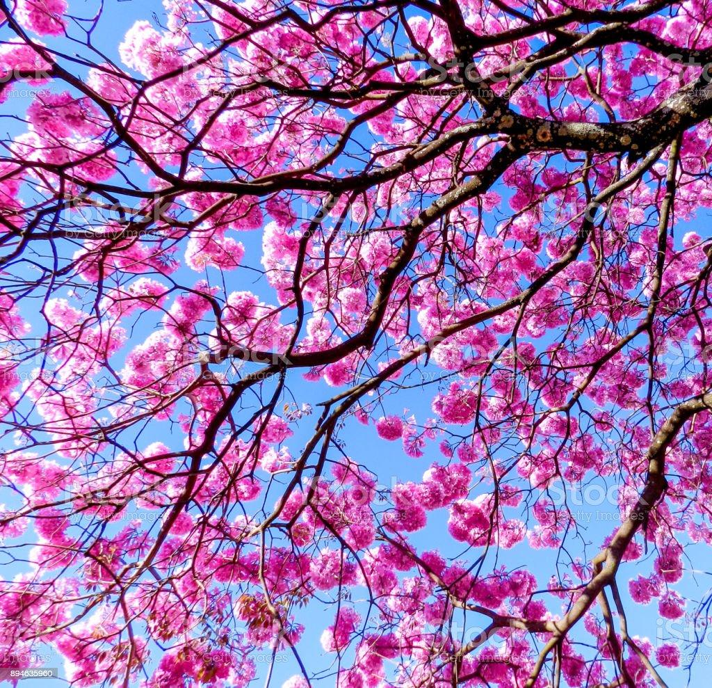 arbre fleur ipe – photos et plus d'images de arbre | istock
