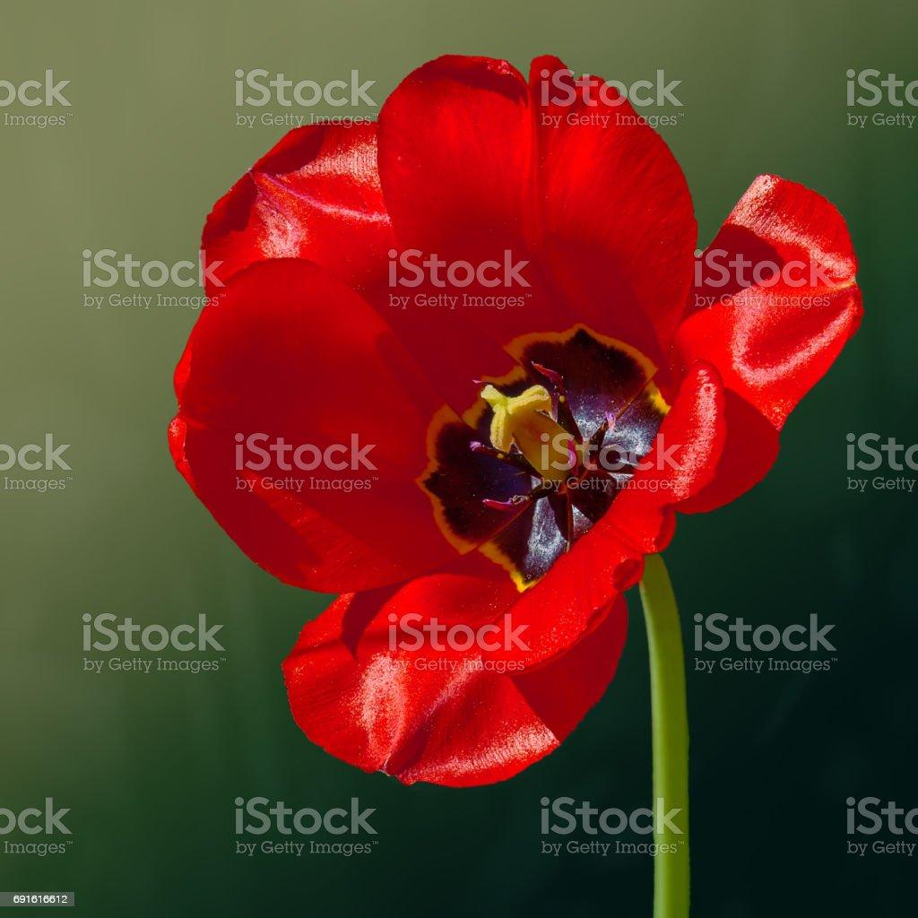 Flower tulip in spring stock photo