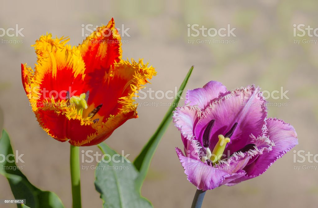 Flower tulip terry in spring stock photo