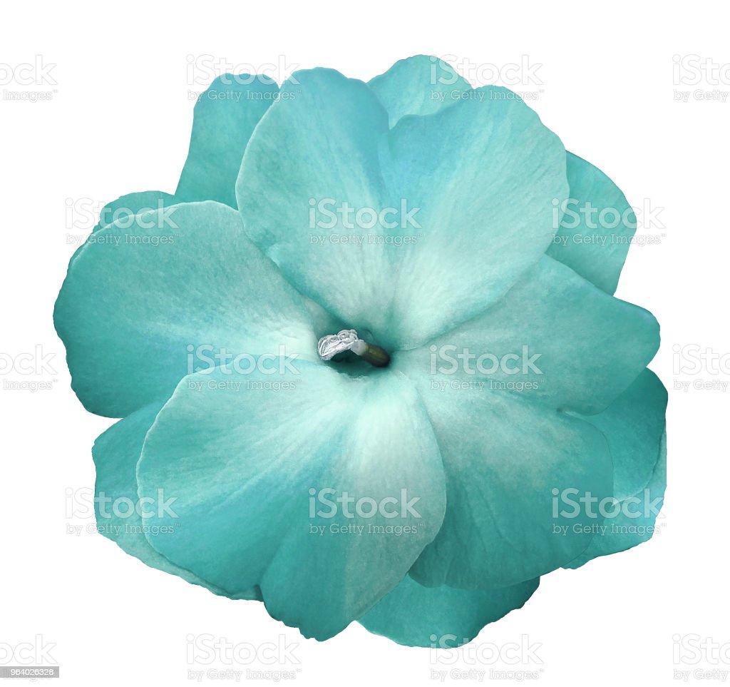 白にターコイズ ブルーの花スミレは影もないクリッピング パスと背景を分離しました。 設計のためのクローズ アップ。 自然。 - 1人のロイヤリティフリーストックフォト