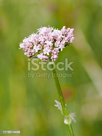 A flower umbel of Common Valerian (Valeriana officinalis) in the Scottish lowlands