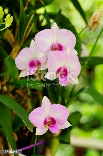 Bouquet, Dendrobium, Flower, Moth Orchid, Orchid