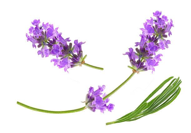 Flower violet lavender herb isolated picture id579754282?b=1&k=6&m=579754282&s=612x612&w=0&h=rrlxqlkrxtyusxujzqmyno2nkayd7n8khazltyvohhi=