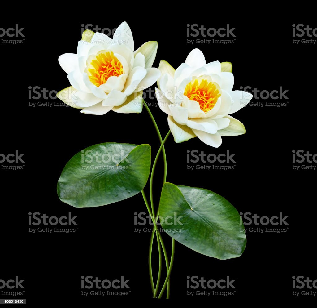 Flower Water Lily Stock Photo Istock
