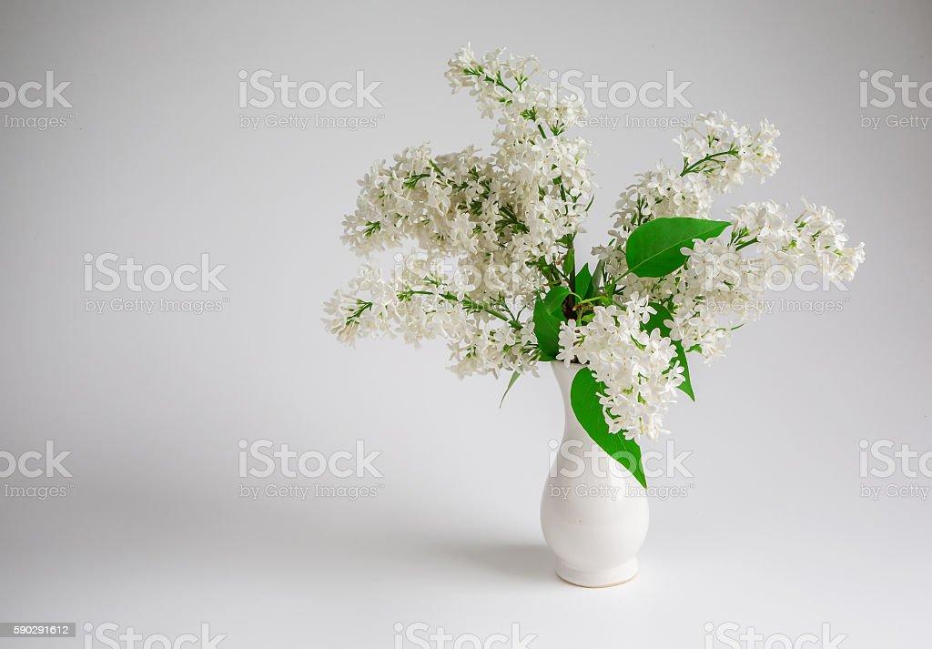 flower, white lilac royaltyfri bildbanksbilder