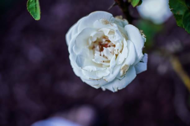 Flower White Rose bloom stock photo