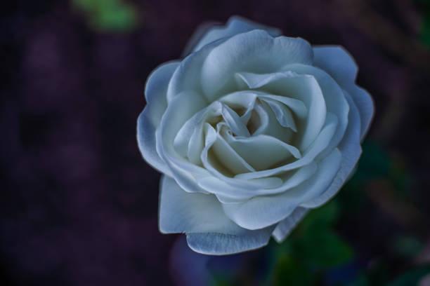 Flower White Rose stock photo