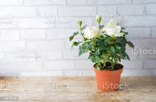 Flower white rose plant growing in brown plastic pot with flower and picture id1134181051?b=1&k=6&m=1134181051&s=612x612&h=ldf5kewkx4ebkgkjnbgxcosgakbf6xskgzfxseasqoy=