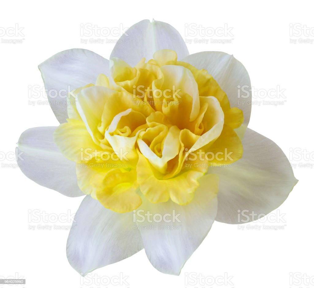 Flower white-yellow  narcissus on a white isolated background with clipping path  no shadows.  Closeup  For design.  Nature. - Royalty-free Adult Stock Photo