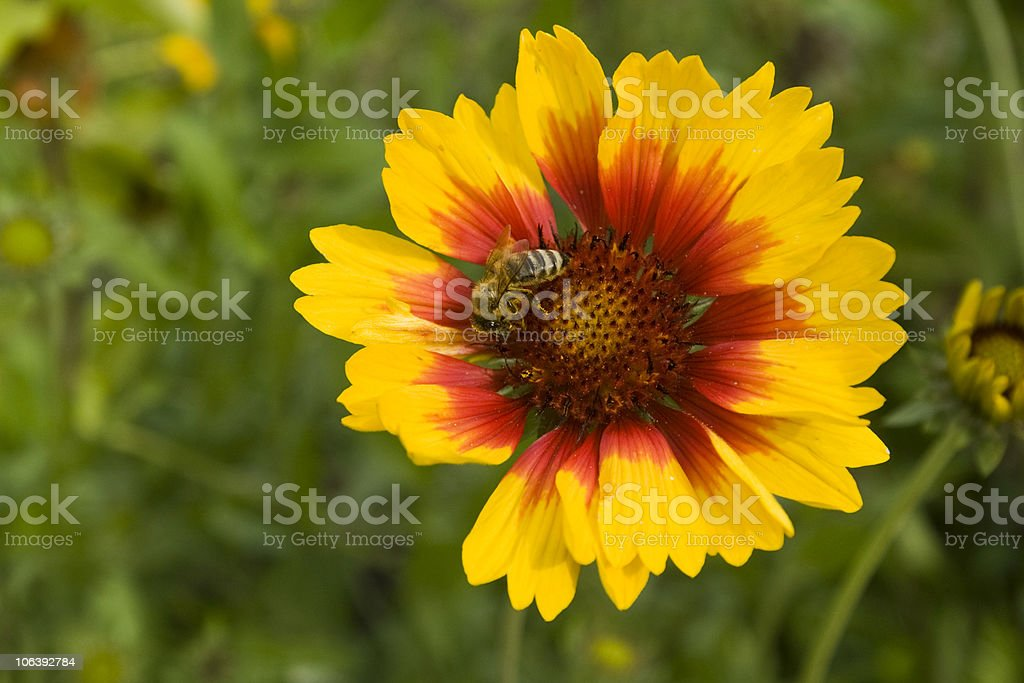 Flower with bee stock photo
