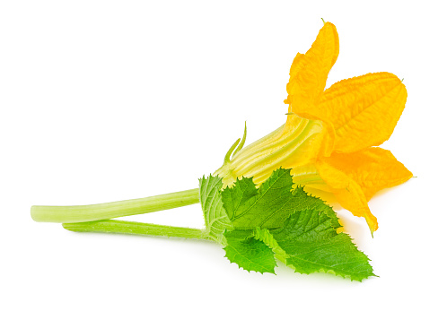 Flower with leaf of zucchini isolated on white