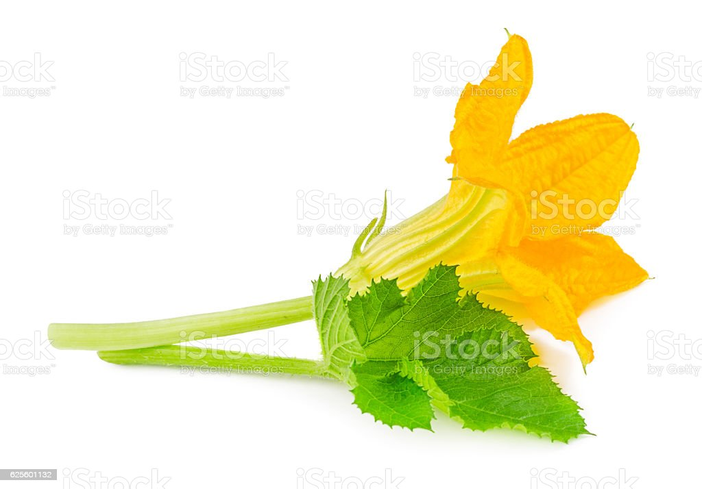 Flower with leaf of zucchini isolated on white stock photo