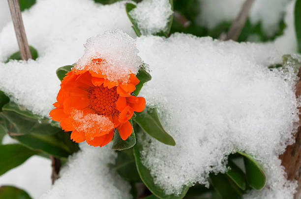 Flower with snow stock photo