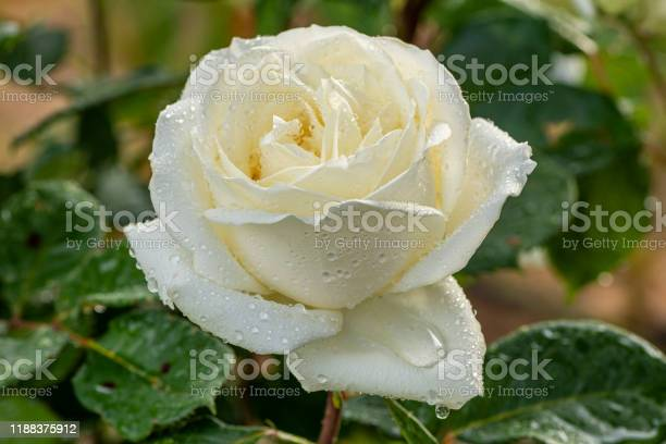 Flower with water drops on it white rose picture id1188375912?b=1&k=6&m=1188375912&s=612x612&h=4rgwhzm93ejeim5zopdnnjrrfy5wajzhwo5cd gnus0=