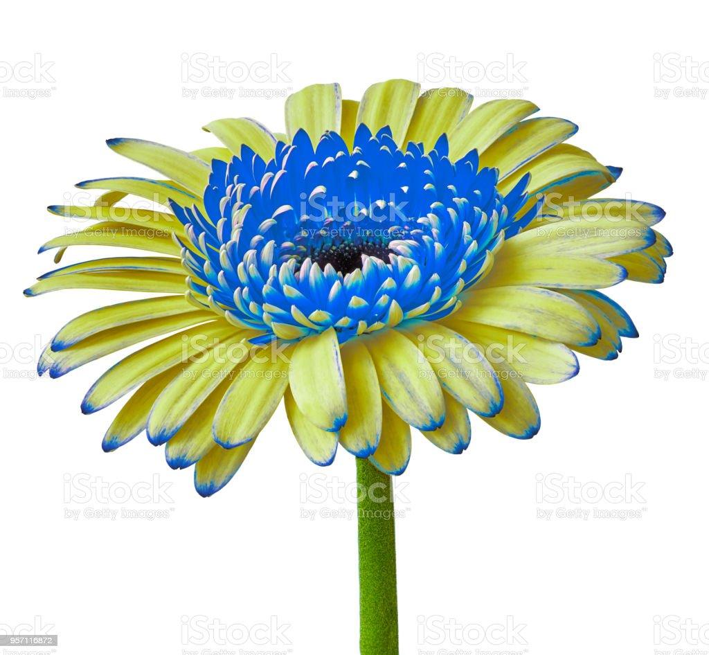 Fleur Jaune Bleu Gerbera Isole Sur Fond Blanc Gros Plan Bouton