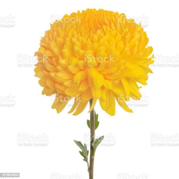 Flower yellow chrysanthemum picture id873833634?b=1&k=6&m=873833634&s=612x612&h=rw72abbouafgxq5itdzoyourqplmtzwbgnn0eseodmm=