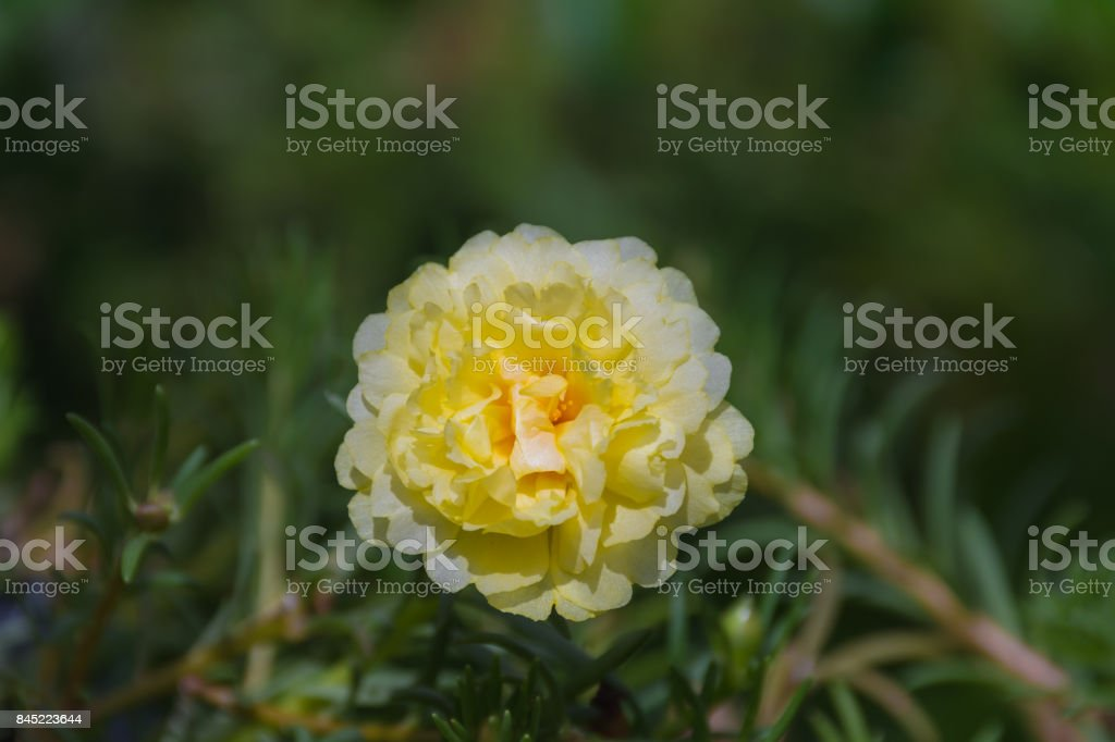 Flower Yellow Color Naturally Beautiful Flowers In The Garden Stock