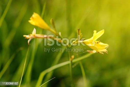 Flower yellow day daylily in domestic garden. Hemerocallis lilioasphodelus minor. Gardening.