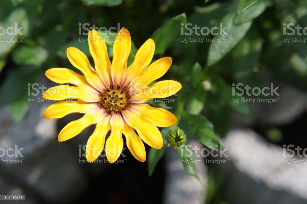 flower yellow gerbera stock photo