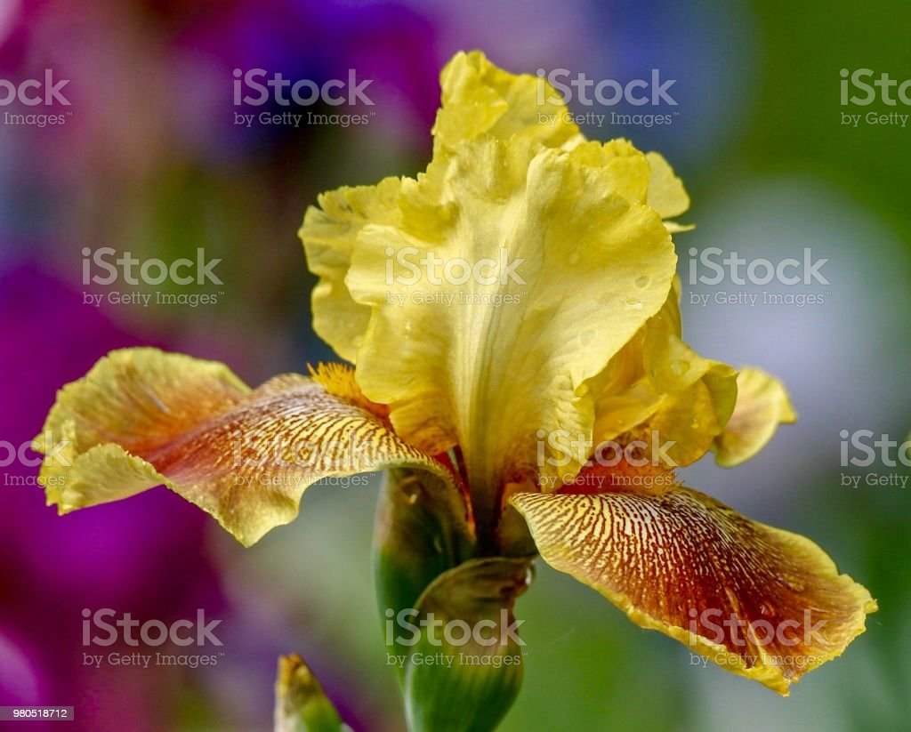 Flower, Yellow Orange Bearded Iris isolated with multicolored blurred background stock photo