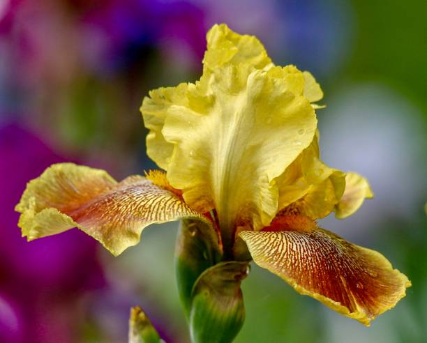 Flower, Yellow Orange Bearded Iris isolated with multicolored blurred background stock photo