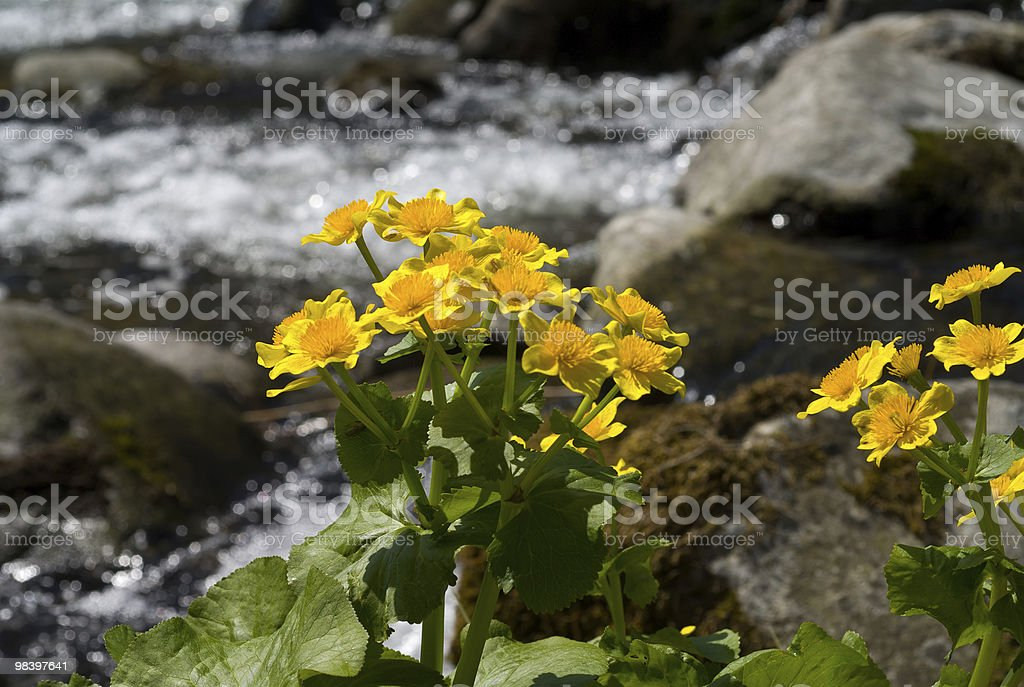 Flowera of Kingcup royalty-free stock photo