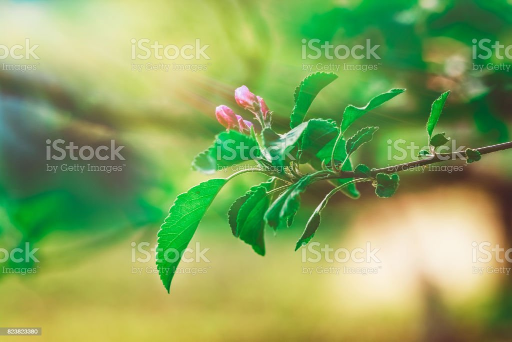Flowerage of a Cherry Tree with Purple Flowers,Spring Nature Background stock photo