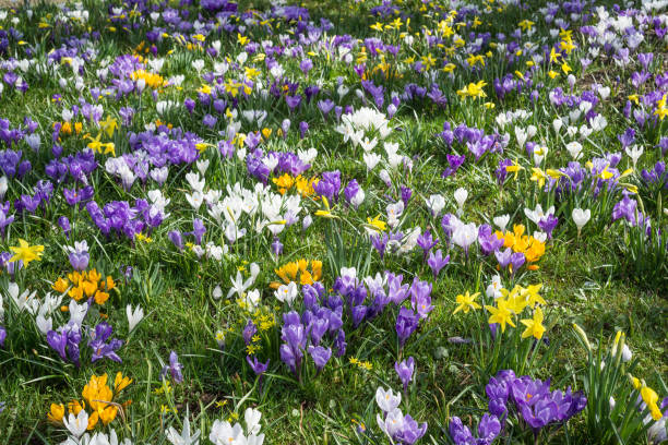 parterre de fleurs rempli de violet, blanc et jaune crocus. - crocus photos et images de collection