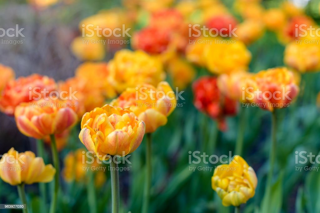 Flowerbed full of lovely red and yellow colorful tulips - Royalty-free Agricultural Field Stock Photo