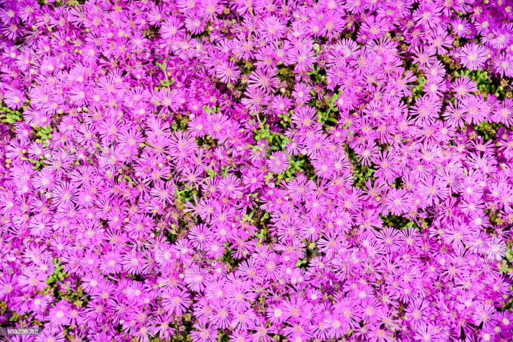 flowerbed of a beautiful succulent purple ice plant delosperma cooperi stock photo