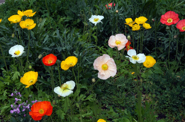 Flowerbed of colorful iceland poppies Winter in the garden Sydney, Australia perennial stock pictures, royalty-free photos & images