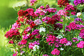 Flowerbed of Dianthus barbatus. Color photo of William flowers