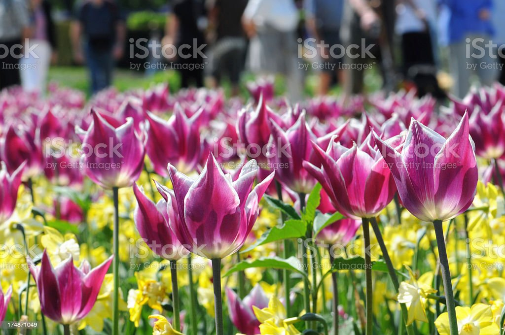 flowerbed of pink tulips in springtime. stock photo