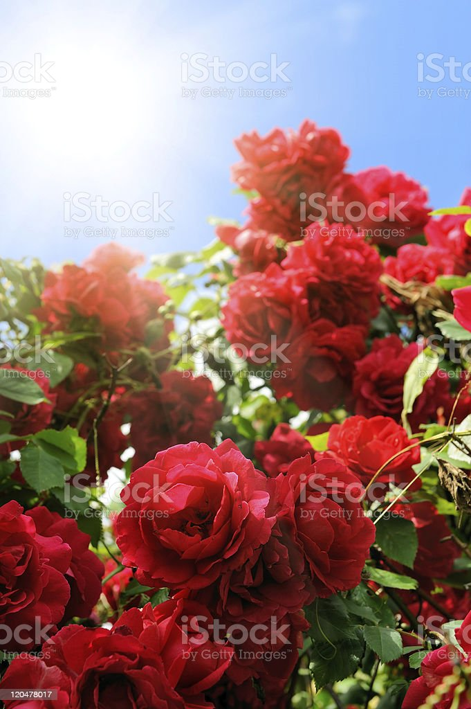 flowerbed of red beautiful rose flowers royalty-free stock photo