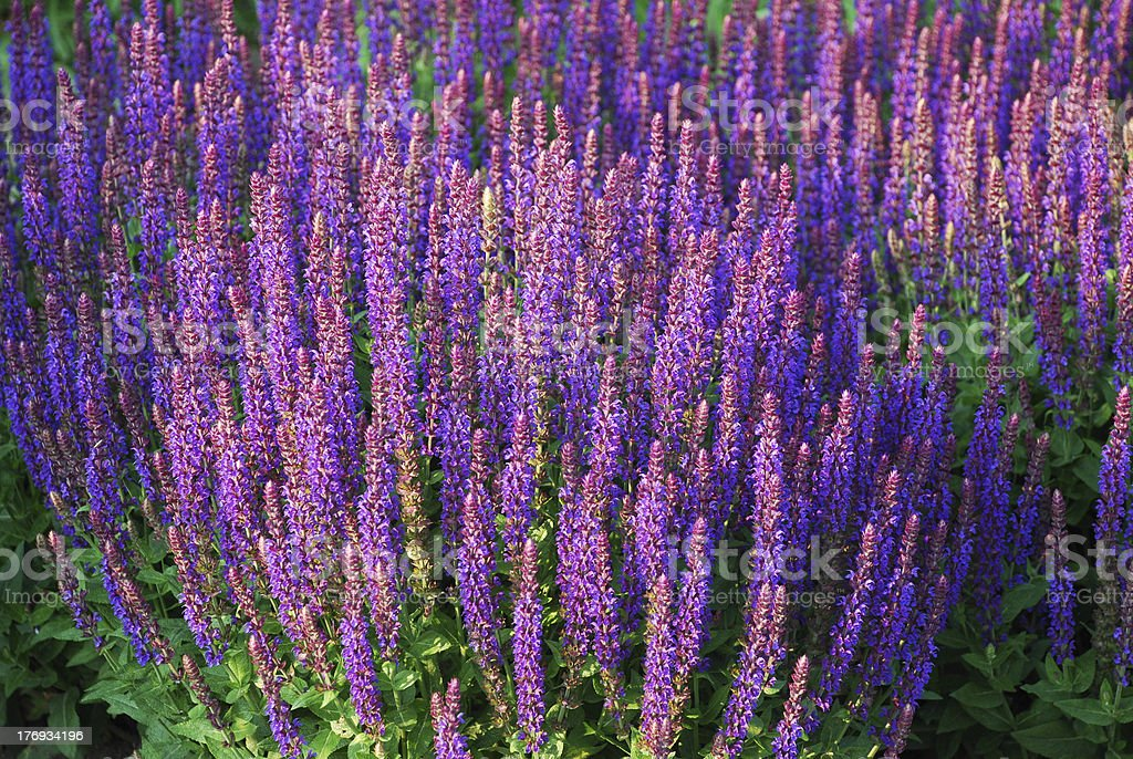 Flowerbed of Salvia royalty-free stock photo