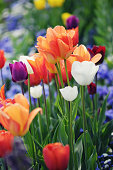 flowerbed of orange, purple  yellow tulips in springtime. pansy flowerbed on right side.