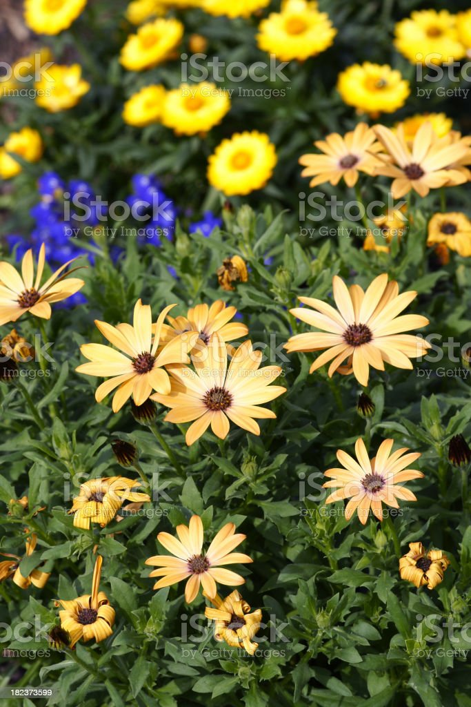 Flowerbed with cap asters stock photo