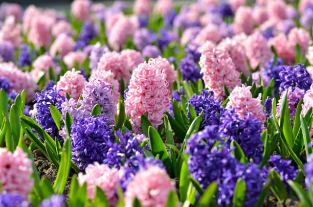 다채로운 hyacinths, 전통적인 봄 꽃, 부활절 꽃, 부활절 배경, 꽃 배경 화 단 - 히아신스 뉴스 사진 이미지
