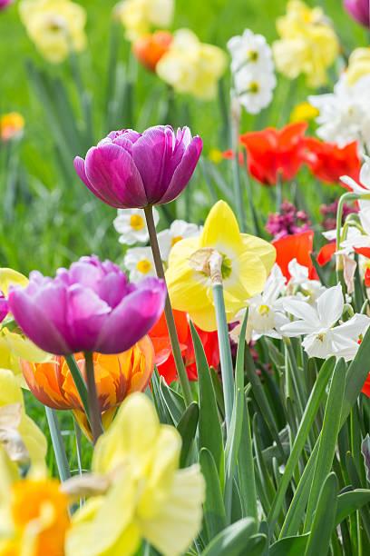 parterre de fleurs avec différentes variétés de tulipes - plante à bulbe photos et images de collection