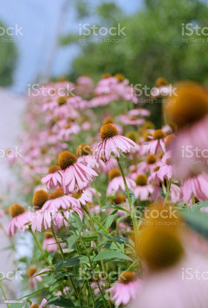 Flowerbed with echinaceas. Shot on film royalty-free stock photo