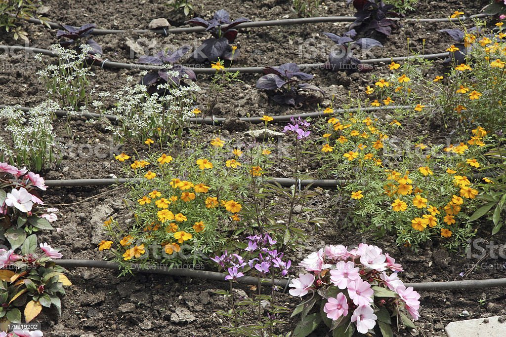 flowerbed with flowers and the automatic irrigation system stock photo