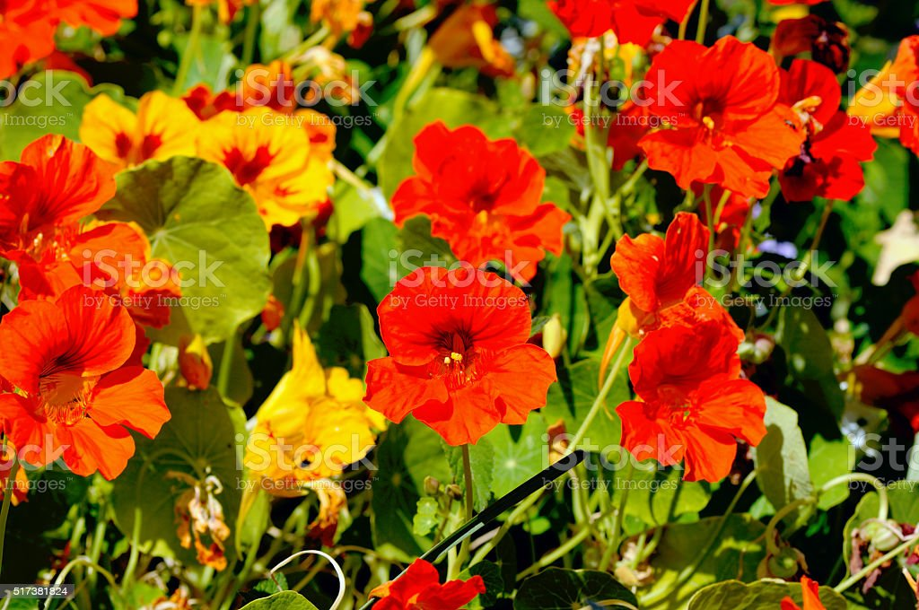 flowerbed with lot of  nasturtium flowers royalty-free stock photo