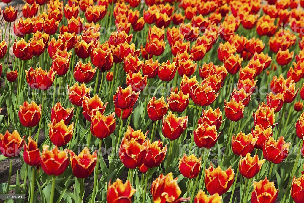 flowerbed with many red tulips royalty-free stock photo