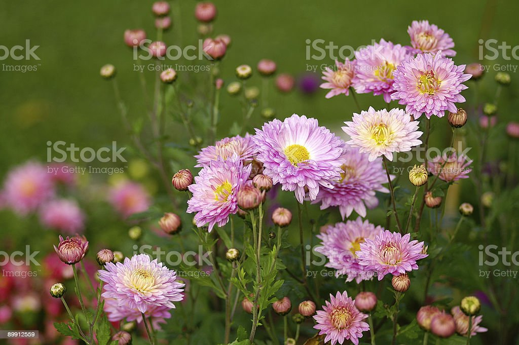 Flowerbed with Michaelmas daisies royalty-free stock photo