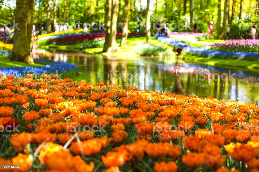 Canteiro de flores com tulipas laranja e um lago. Parque com flores Keukenhof na primavera. Holland. Presente de cartão postal - Foto de stock de Amarelo royalty-free