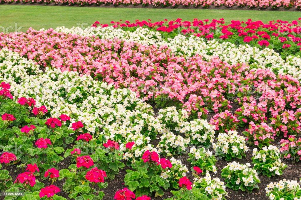 Blumenbeet mit rosa und weißen Geranie plant und Begonien – Foto