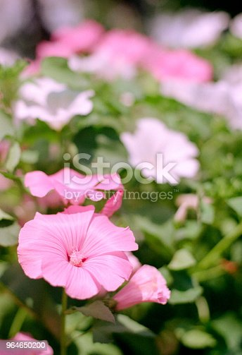 Flowerbed With Pink And White Mallows Shot On Film Stock Photo & More Pictures of Backgrounds