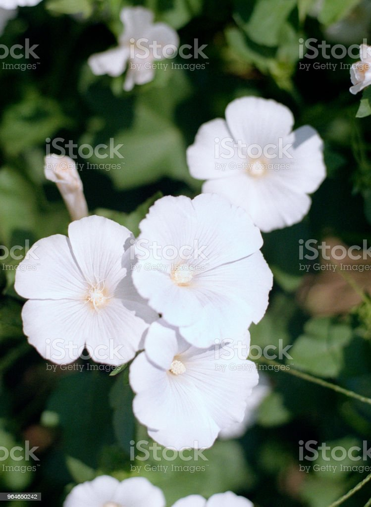 Flowerbed with pink and white mallows. Shot on film royalty-free stock photo