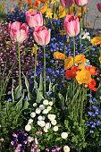 Tulipa 'World Peace' cultivar. Daffodil - Narcissus 'Lemon Beauty' cultivar.
