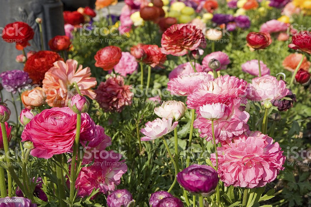 flower-bed with poppies, St Raphael, French Riviera royalty-free stock photo